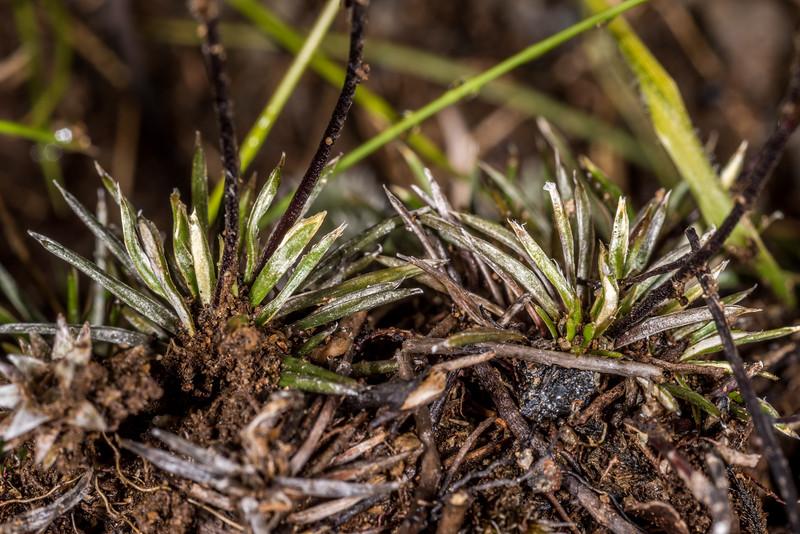 Needle-leaved mountain daisy (Celmisia laricifolia). Mount Luxmore, Fiordland National Park.