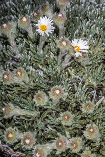 Hadfield's rock daisy (Celmisia macmahonii var. hadfieldii). Mount Richmond. <br /> Richmond Range, Marlborough.