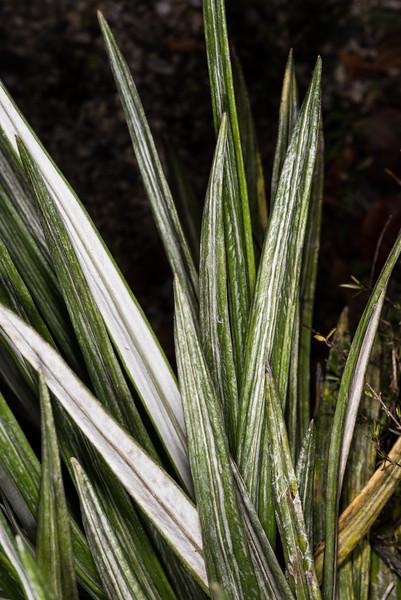 Monro's mountain daisy (Celmisia monroi). Dunedin Botanic Garden.