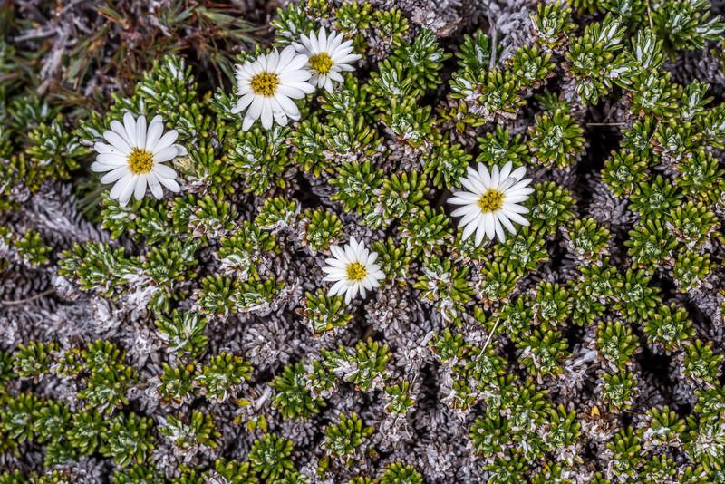 Trailing celmisia (Celmisia ramulosa). Gertrude Saddle, Fiordland National Park.
