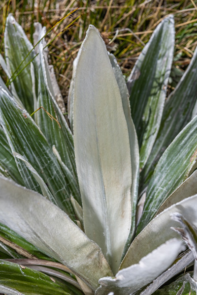 Large mountain daisy (Celmisia semicordata ssp. semicordata). Buckland Peaks, Paparoa Range.