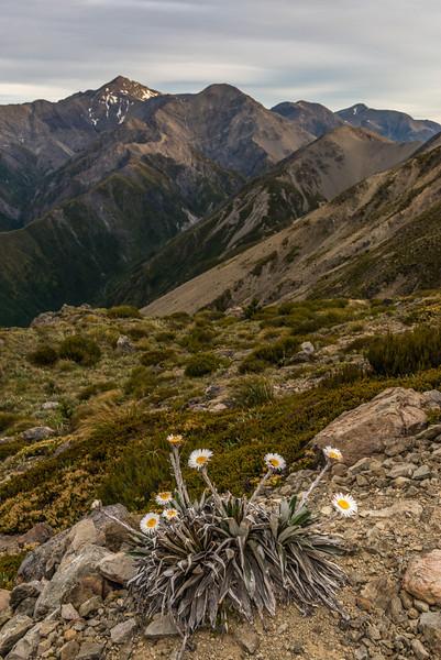 Cotton plant (Celmisia spectabilis), Mount Fyffe, Kaikoura. Manakau, Uwerau and Te ao Whekere in the background