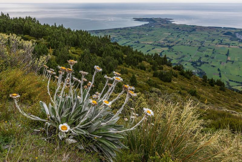 Cotton plant (Celmisia spectabilis), Mount Fyffe. The Kaikoura Peninsula in the background.