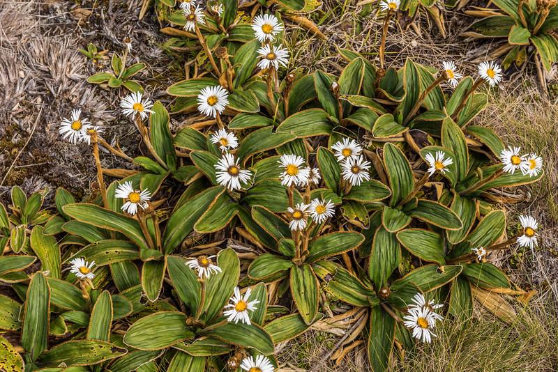 Celmisia traversii. Ellis Basin, Arthur Range, Kahurangi National Park.