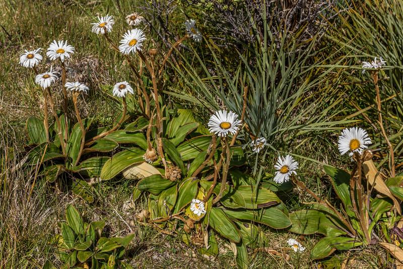 Celmisia traversii. Mount Arthur, Kahurangi National Park.