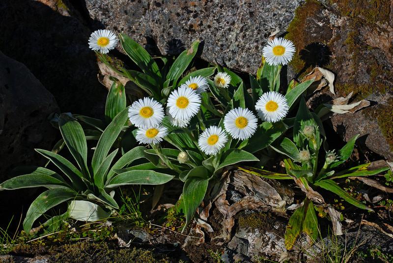 Celmisia verbascifolia. Lake Adelaide, Fiordland