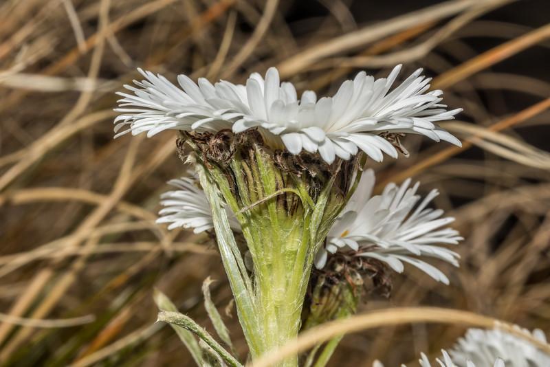 Celmisia verbascifolia. Barrier Range, Dart River / Margaret Burn.
