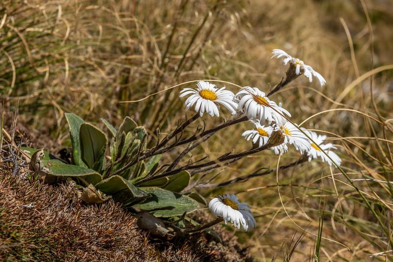 Mountain daisy (Celmisia verbascifolia). Mataketake Range, Westland.