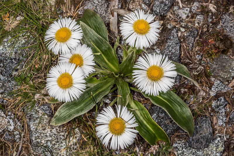 Celmisia verbascifolia. Gertrude Valley Track, Fiordland National Park.