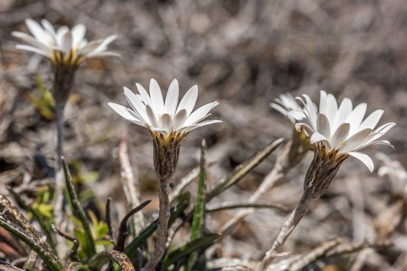 Common mountain daisy / pekapeka (Celmisia gracilenta). Puponga Hilltop Walk, Farewell Spit.