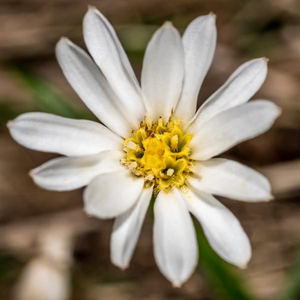 Common mountain daisy / pekapeka (Celmisia gracilenta). Daleys Flat, Dart River