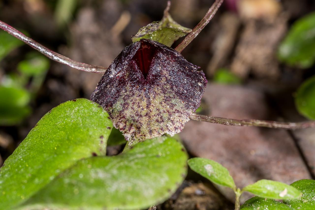 Spider orchid (Corybas 'Waiouru'). Mount Cargill, Dunedin.