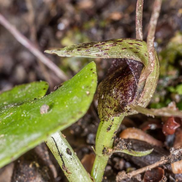 Spider orchid (Corybas hatchii). Mount Cargill, Dunedin.