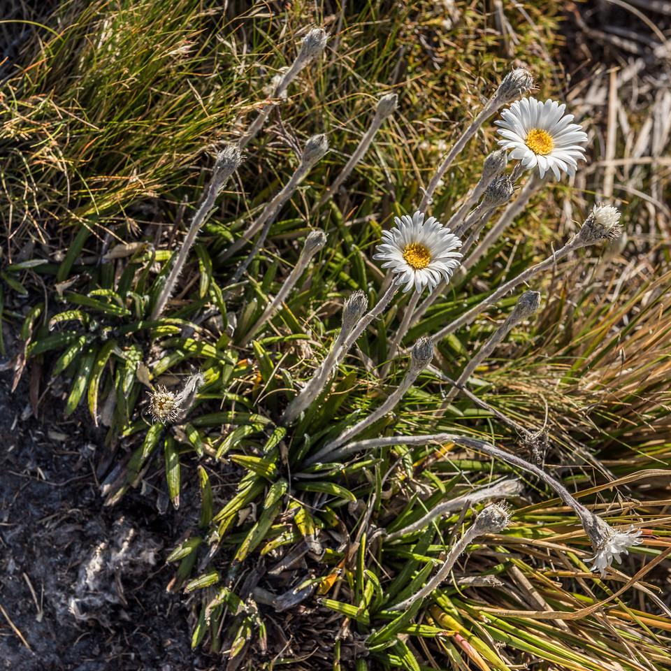Cotton plant (Celmisia spectabilis). Mount Arthur, Kahurangi National Park.