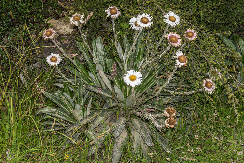 Cotton plant (Celmisia spectabilis). Mount Fyffe, Kaikoura