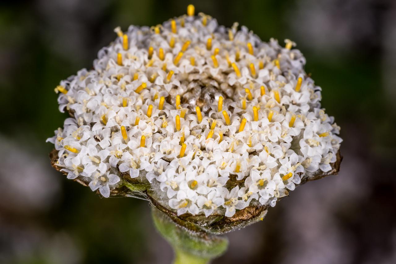 Woollyhead (Craspedia uniflora). Iris Burn, Kepler Track, Fiordland National Park.