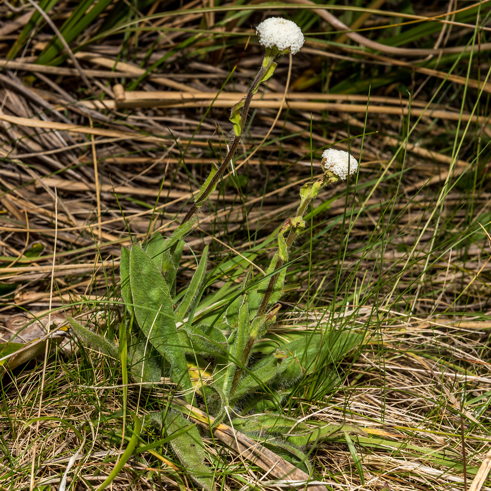 Woollyhead (Craspedia aff. uniflora). Ellis Basin, Arthur Range, Kahurangi National Park.