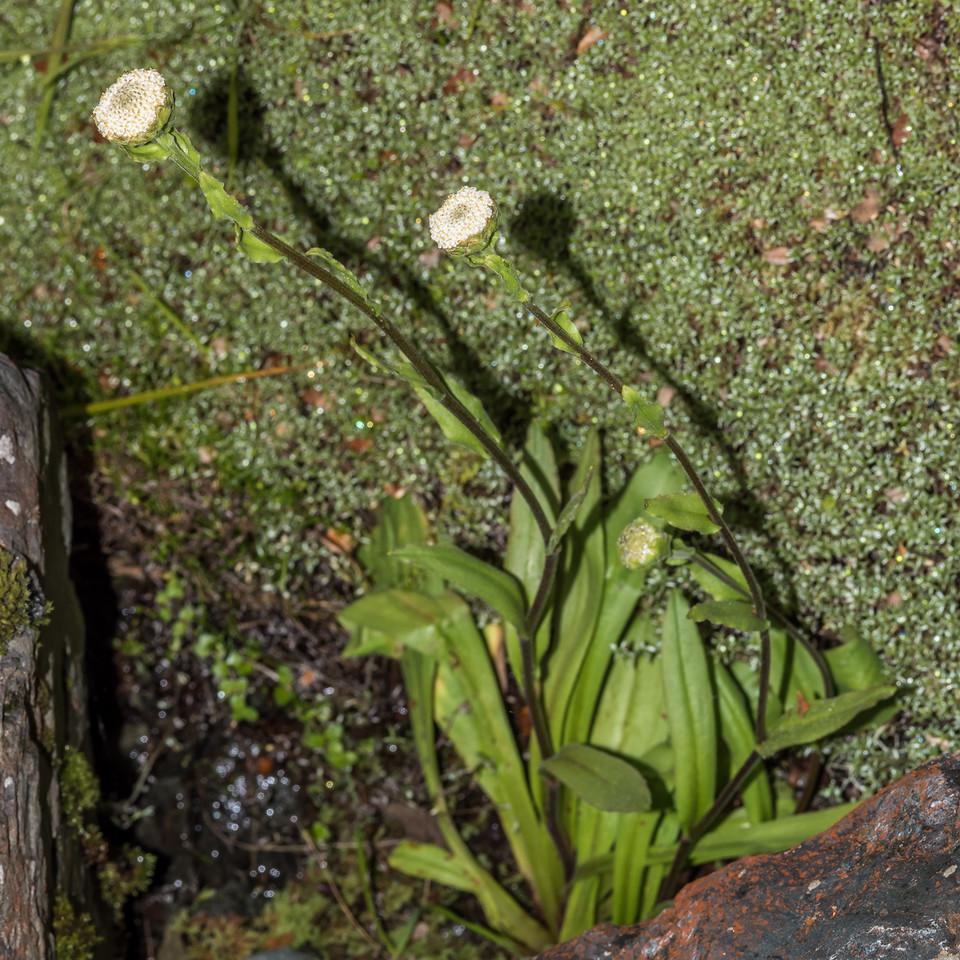 Woollyhead (Craspedia uniflora). Emily Creek, Routeburn.