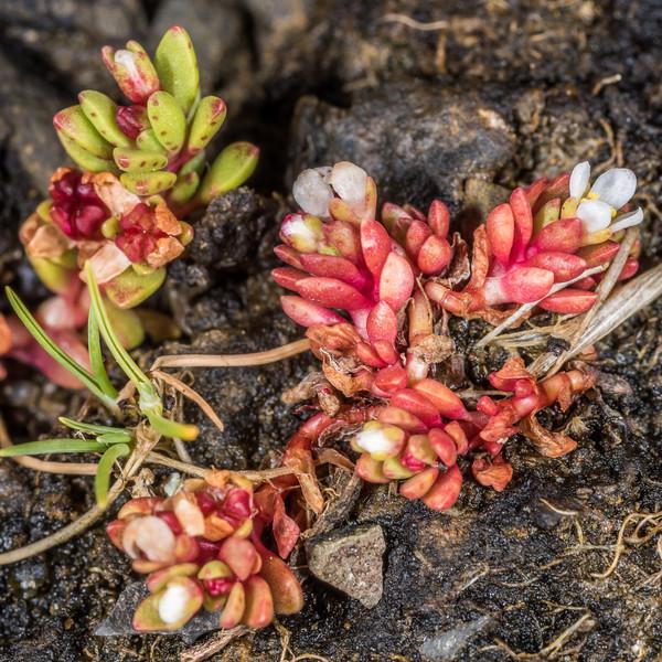 Shore stonecrop (Crassula moschata). Cannibal Bay, Catlins.