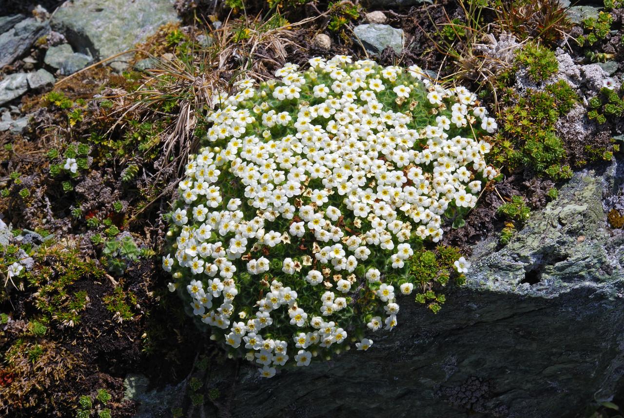 Cushion forget-me-not (Myosotis pulvinaris). Mt Erebus