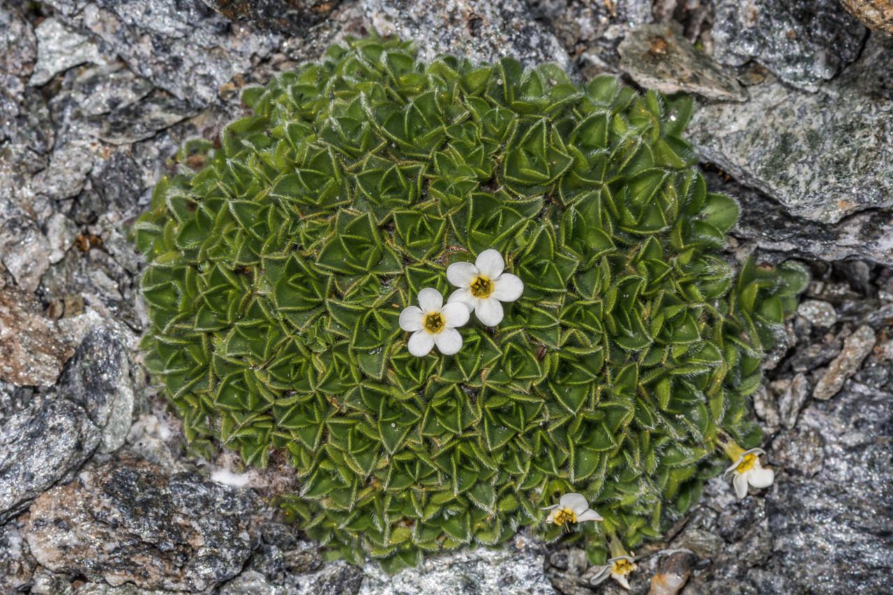 Cushion forget-me-not (Myosotis pulvinaris), at 2300m of elevation on the west ridge of Fastness Peak, Mount Aspiring National Park.