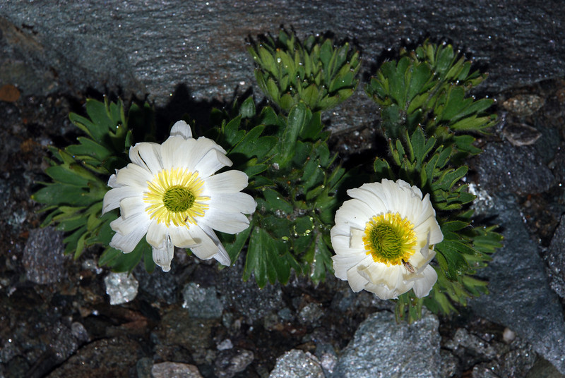 Cut-leaved alpine buttercup (Ranunculus buchananii). Dragonfly Peak, Mount Aspiring NP