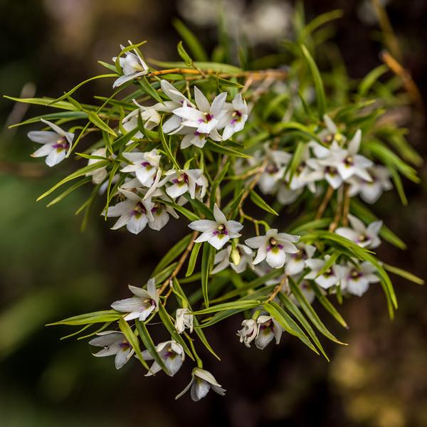 Dendrobium cunninghamii. Lake Hakapoua, Fiordland National Park.