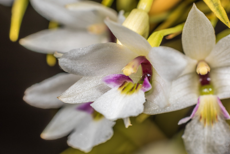 Dendrobium cunninghamii. Lake Hauroko, Fiordland National Park.