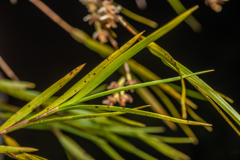 New Zealand bamboo orchid (Earina mucronata). Bridge to Nowhere, Whanganui National Park.