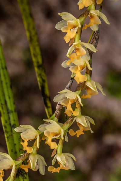 New Zealand bamboo orchid (Earina mucronata). Puketotara Hut, Matemateaonga Range.