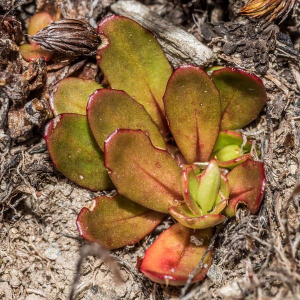 Alpine willowherb (Epilobium elegans). Sentinel Peak, Lake Hawea.