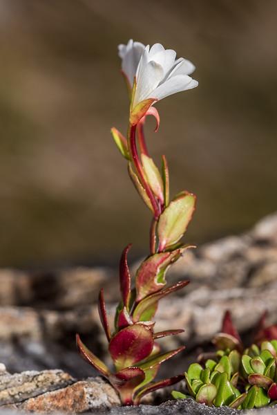 Alpine willowherb (Epilobium glabellum). Rugged Mount, Cameron Mountains, Fiordland National Park.
