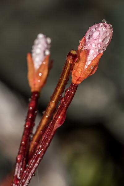 Alpine willowherb (Epilobium glabellum). Emily Creek, Routeburn.