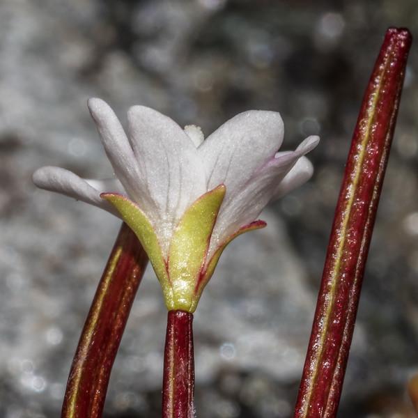 Alpine willowherb (Epilobium glabellum). Rainbow Stream, Mount Aspiring National Park.