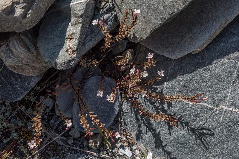 Willowherb (Epilobium melanocaulon). Otekaieke River, St Marys Range.