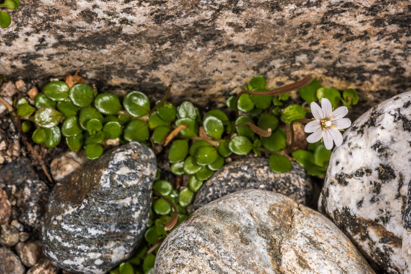 Willowherb (Epilobium nerteroides). Seaforth River, Fiordland National Park.