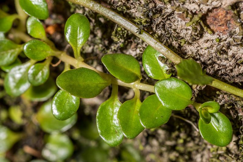 Willowherb (Epilobium nerteroides). Hauroko Burn, Fiordland National Park.