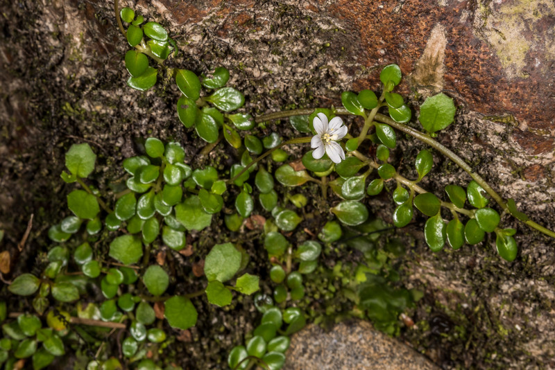 Willowherb (Epilobium nerteroides). The toothed leaves belong to Lobelia angulata. Hauroko Burn, Fiordland National Park.