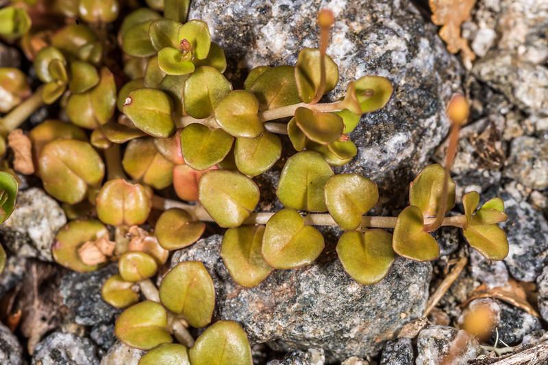 Willowherb (Epilobium pernitens). Iris Burn, Kepler Track, Fiordland National Park.