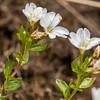 Willowherb (Epilobium vernicosum). Ellis Basin, Arthur Range, Kahurangi National Park.