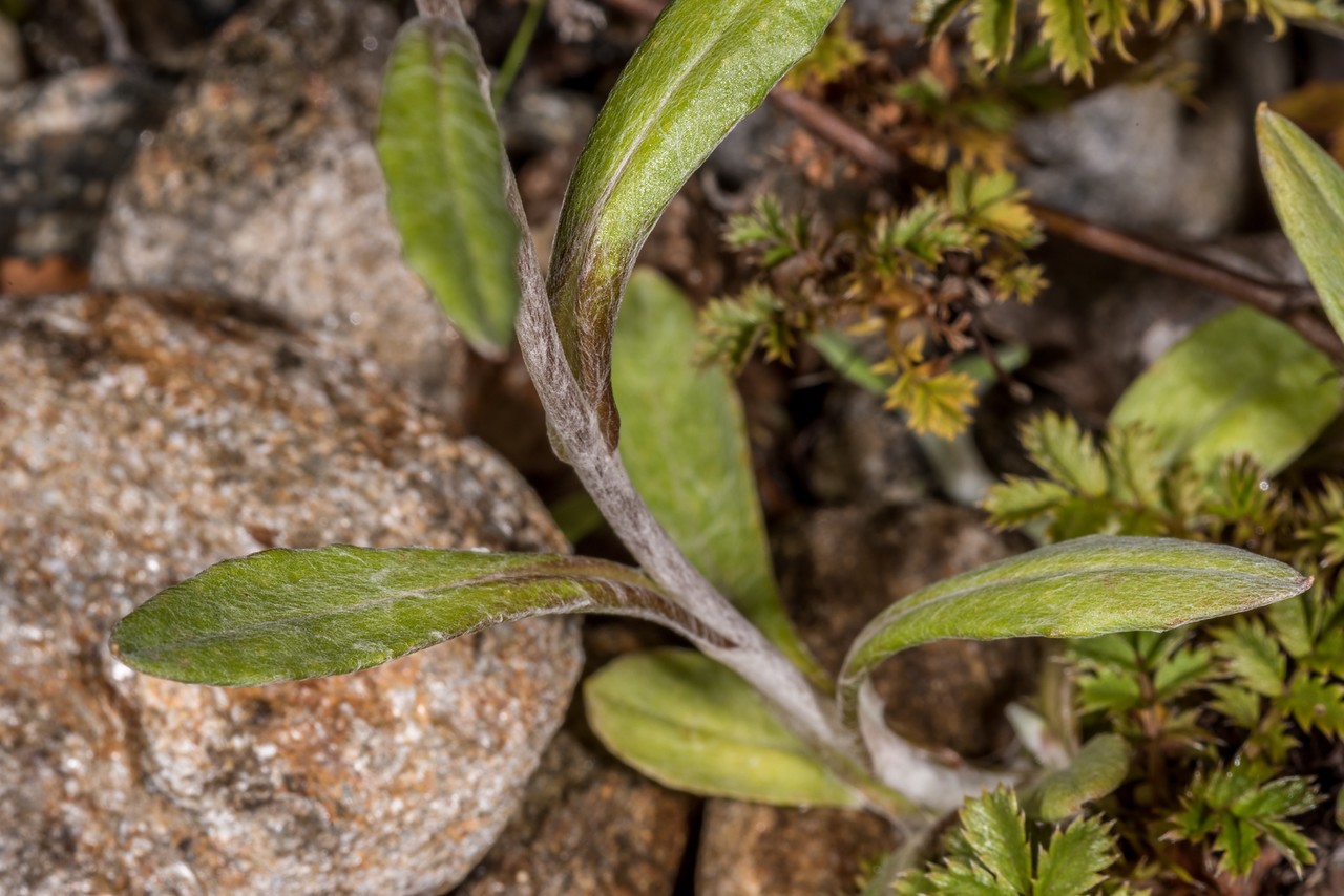 Cudweed (Euchiton audax). Seaforth River, Fiordland National Park.