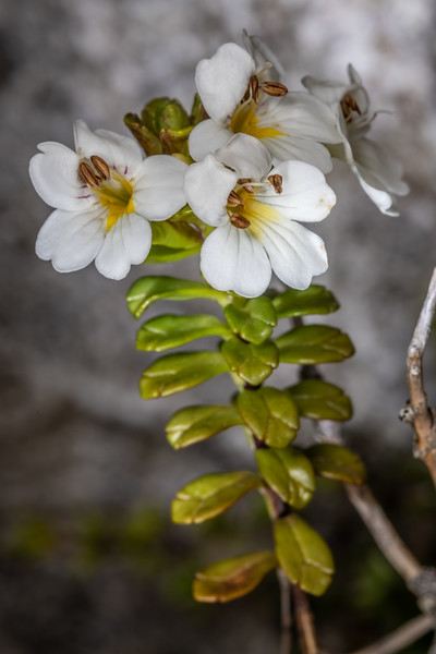 Eyebright (Euphrasia monroi). Mount Richmond. Richmond Range, Marlborough.