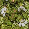 Eyebright (Euphrasia revoluta). Emily Creek / Emily Pass, Routeburn.