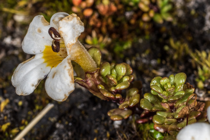 Eyebright (Euphrasia revoluta). Mount Arthur, Kahurangi National Park.