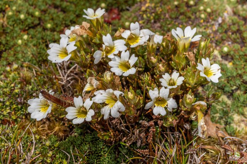 Eyebright (Euphrasia townsonii). Buckland Peaks, Paparoa Range.