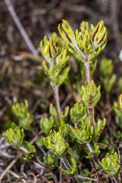 Eyebright (Euphrasia townsonii). Mount Arthur, Kahurangi National Park.