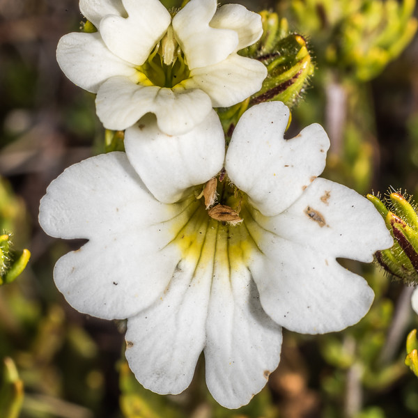 Eyebright (Euphrasia townsonii). Mount Arthur, Kahurangi National Park.