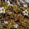 Eyebright (Euphrasia zelandica). Mount Wakefield, Aoraki / Mount Cook National Park.