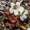 Eyebright (Euphrasia zelandica). Major Peak, Wakatipu