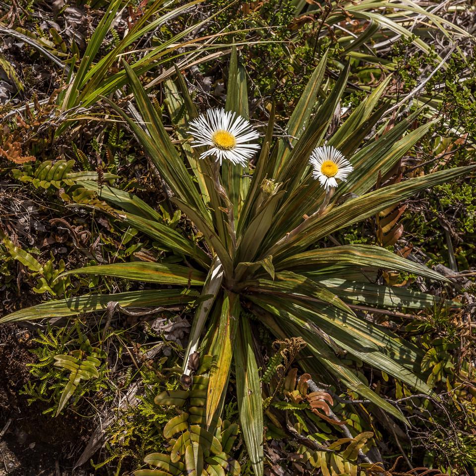 Fiordland mountain daisy (Celmisia coriacea). Upper Hauroko Burn, Fiordland National Park.